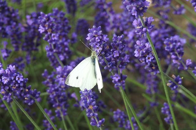 levandule a motýl.jpg