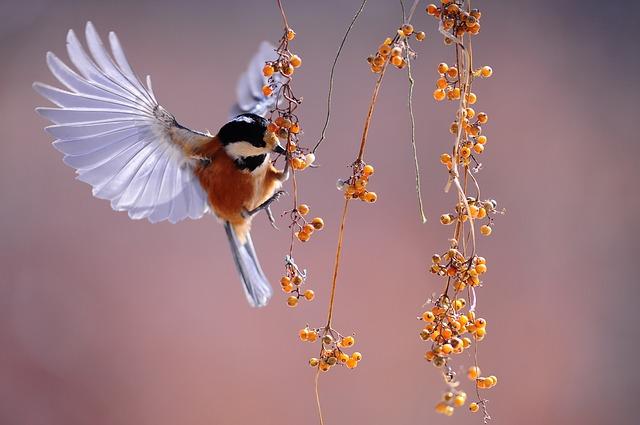 ptáček u bobulí