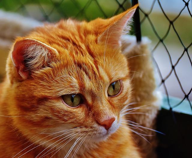 hlava zrzavé kočky
