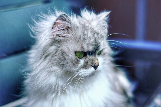 dlouhosrstá kočka
